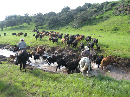 a research paper on cattle ranching Essay, term paper, research paper: society term papers  cattle ranching, including the destruction of rainforests and grasslands since 1960 more than 25 percent of central america's forests have been cleared to create pastureland for grazing cattle by the late 1970's two-thirds of all.