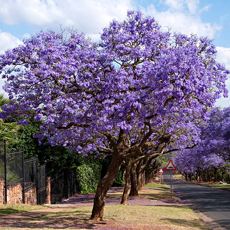Mexico S Jacaranda Tree A Gift From A Japanese Immigrant Imagine